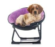 小狗布里坦尼西班牙猎狗 免版税库存图片