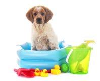 小狗布里坦尼西班牙猎狗 免版税图库摄影