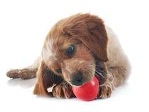 小狗布里坦尼西班牙猎狗 图库摄影