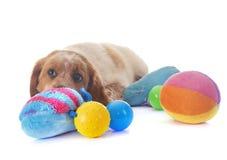 小狗布里坦尼西班牙猎狗 库存图片