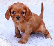 小狗年轻人 免版税库存照片