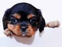 小狗年轻人 库存图片
