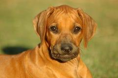小狗微笑 免版税库存图片