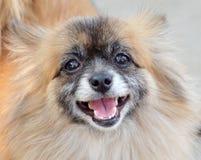 小狗微笑 图库摄影