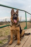 小狗德国牧羊犬坐一个木桥 图库摄影