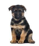 小狗德国牧羊犬狗开会, 2个月 库存照片