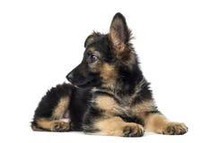 小狗德国牧羊犬说谎, 9个星期年纪,被隔绝 图库摄影