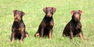 小狗德国狩猎狗在春天从事园艺 库存照片