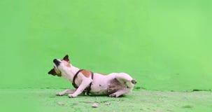 小狗执行一种命令宠物守纪锻炼 股票视频