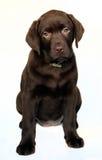 小狗拉布拉多猎犬 免版税库存照片