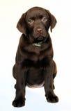 小狗拉布拉多猎犬 库存照片
