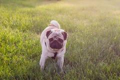 小狗拖把在庭院里 在一棵草的一点哈巴狗在夏天公园 免版税库存图片