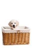 小狗摆在一个柳条筐的白色拉布拉多 免版税库存图片