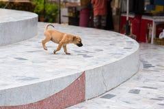 小狗无家可归的狗没有所有者在Wat Thang sai寺庙在 库存图片