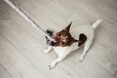 小狗杰克罗素狗白色和棕色使用与颜色 免版税图库摄影