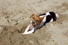 小狗杰克罗素在海 免版税库存图片