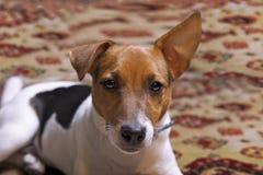 小狗杰克罗素的画象 库存图片