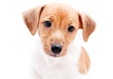 小狗杰克罗素 免版税库存照片