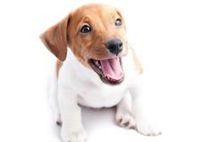 小狗杰克罗素 免版税图库摄影