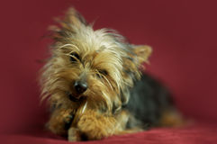 小狗柔滑的狗 图库摄影