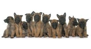 小狗比利时牧羊人malinois 库存照片