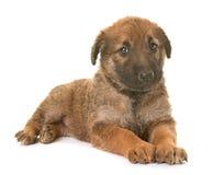 小狗比利时牧羊犬laekenois 库存照片