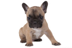 小狗法国牛头犬 免版税库存图片