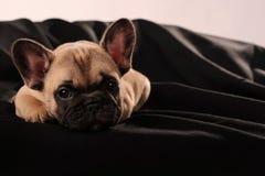 小狗法国牛头犬 免版税库存照片