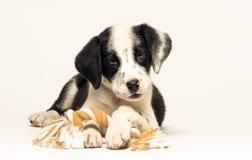 小狗混合达尔马提亚狗 免版税库存图片