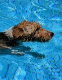 小狗游泳 免版税库存图片