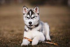 小狗爱斯基摩在公园 免版税库存照片