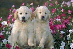 小狗猎犬二 免版税库存图片
