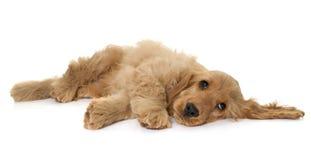 小狗猎犬在演播室 库存照片