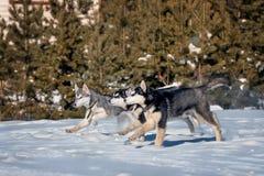 小狗生活方式从西伯利亚爱斯基摩人狗窝的 库存照片