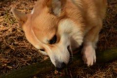 小狗男孩戏剧用棍子 免版税图库摄影
