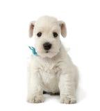 小狗白色 免版税图库摄影