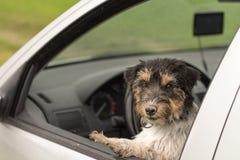 小狗看在车窗-起重器罗素狗外面 免版税库存照片