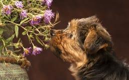 小狗约克夏嗅到的花 免版税图库摄影