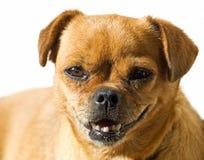 小狗纵向 图库摄影