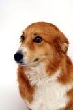小狗纵向 免版税库存照片