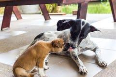 小狗舔在地面上的狗母亲 免版税库存照片