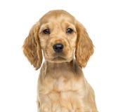 小狗英国猎犬的特写镜头, 9个星期年纪 免版税库存照片