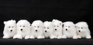 小狗萨莫耶特人 库存图片