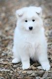 小狗萨莫耶特人 免版税库存照片