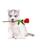 小狗西伯利亚爱斯基摩人画象与一朵玫瑰的在他的嘴 免版税库存照片
