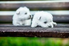 小狗西部高地白色狗在户外一个长木凳的westie狗在公园 免版税库存图片