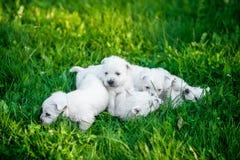 小狗西部高地白色狗在绿草在 免版税库存图片