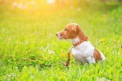 小狗起重器步行的罗素狗在日落ligh的公园 免版税库存图片