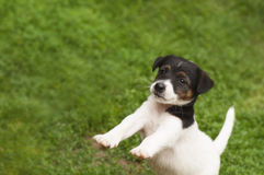 小狗跳跃 库存照片