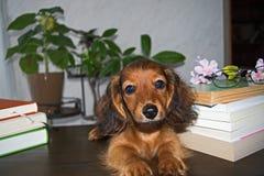 小狗达克斯猎犬和书 库存图片